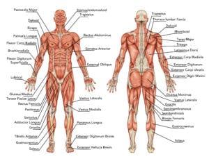 Muscular system Running